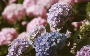hydrangea fast growing shrubs