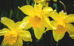 bright yellow daffodils