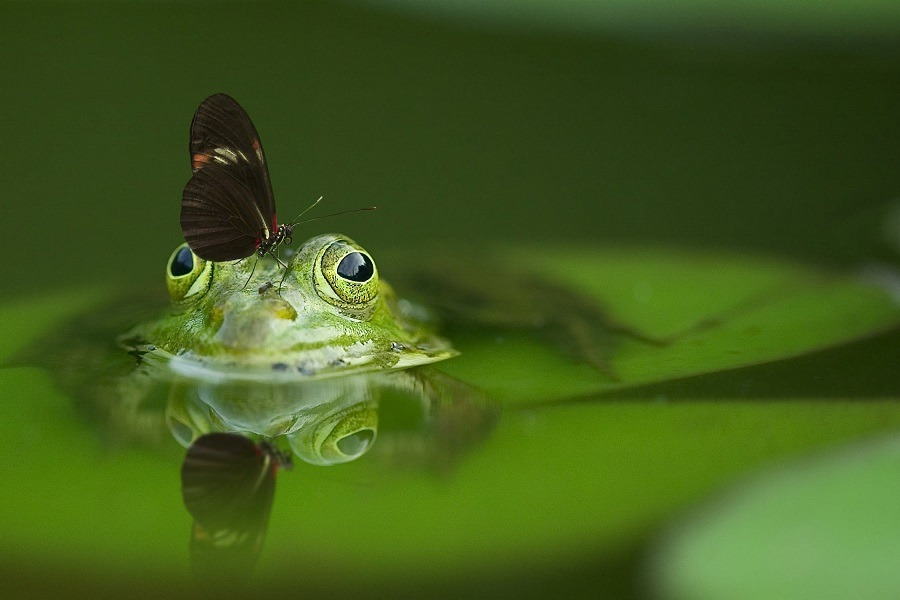 frog in a pond with a butterfly on its head