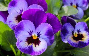 purple winter flowers