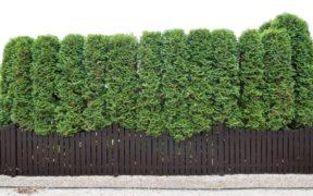 Large Hedge